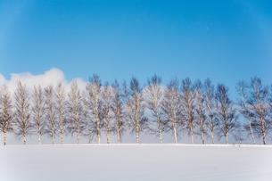 冬の青空とシラカバ並木 美瑛町 の写真素材 [FYI01159493]