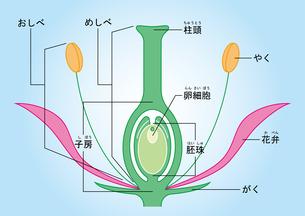 被子植物 図 ふりがなのイラスト素材 [FYI01159519]