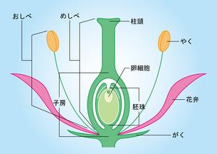 被子植物 図のイラスト素材 [FYI01159520]