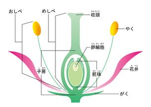 被子植物 図 ふりがなのイラスト素材 [FYI01159522]