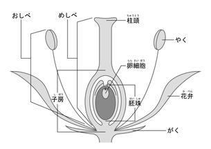 被子植物 図 ふりがなのイラスト素材 [FYI01159525]