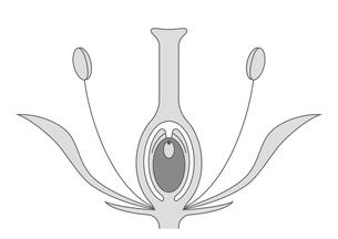 被子植物 図のイラスト素材 [FYI01159527]
