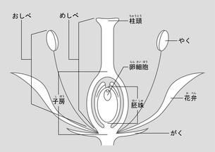 被子植物 図 ふりがなのイラスト素材 [FYI01159528]