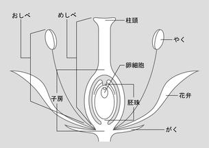 被子植物 図のイラスト素材 [FYI01159529]