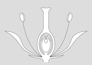 被子植物 図のイラスト素材 [FYI01159530]