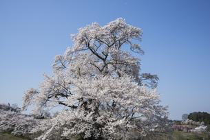 塩ノ崎の大桜の写真素材 [FYI01159659]
