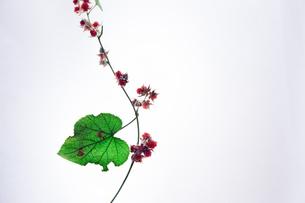 木苺の写真素材 [FYI01159660]