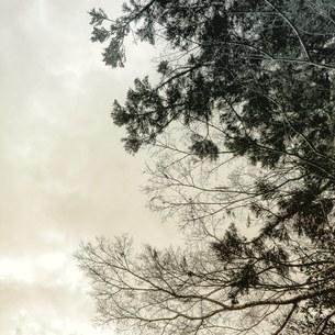 ふた色の木樹の写真素材 [FYI01159745]
