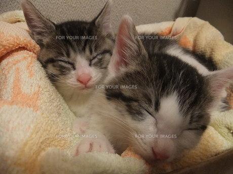 子猫の写真素材 [FYI01159761]
