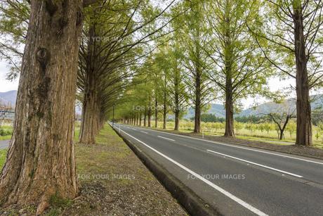 メタセコイアの並木道の写真素材 [FYI01159814]