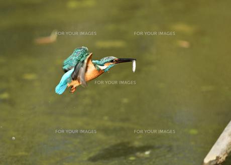 カワセミの捕食の写真素材 [FYI01159895]