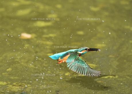 カワセミの捕食の写真素材 [FYI01159896]