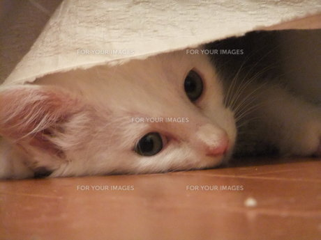 子猫の写真素材 [FYI01159980]