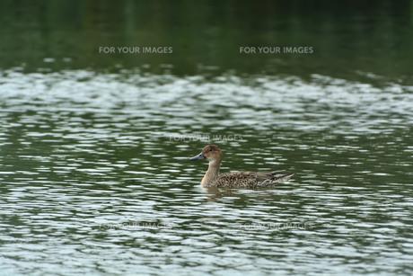 宮古島/冬の干拓池の写真素材 [FYI01159983]