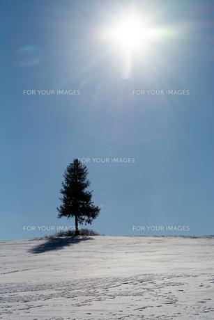 冬の青空と丘の上の松 美瑛町の写真素材 [FYI01160070]