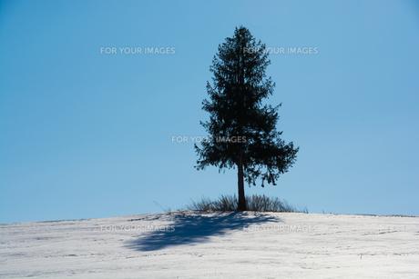 冬の青空と丘の上の松 美瑛町の写真素材 [FYI01160072]