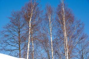 冬の青空とシラカバの木の写真素材 [FYI01160074]