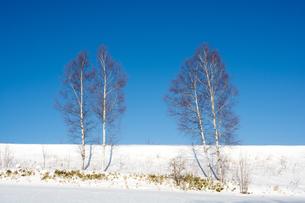 冬の青空とシラカバの木の写真素材 [FYI01160079]