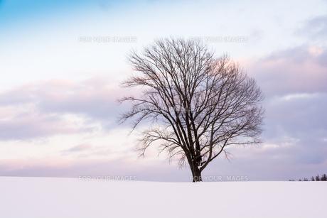 夕暮れの雪原に立つ冬木立 美瑛町の写真素材 [FYI01160089]