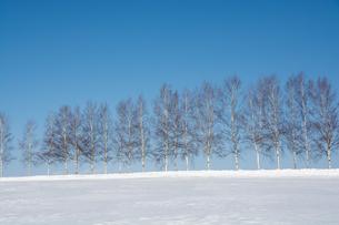 冬の青空とシラカバ並木 美瑛町の写真素材 [FYI01160094]