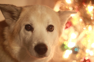 イルミネーションと見つめる犬の写真素材 [FYI01160361]
