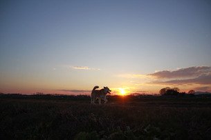 走る犬のシルエットとと夕日の写真素材 [FYI01160368]