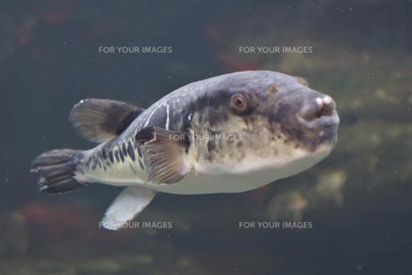 海の生き物 (ハコフグ)の写真素材 [FYI01160370]
