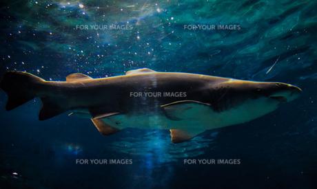海の生き物 (シロワニ)の写真素材 [FYI01160385]