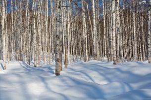 冬のシラカバ林の写真素材 [FYI01160596]