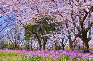 満開の桜とオオアラセイトウの写真素材 [FYI01160608]