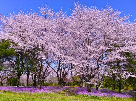 満開の桜とオオアラセイトウの写真素材 [FYI01160609]
