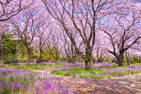 満開の桜とオオアラセイトウの写真素材 [FYI01160610]
