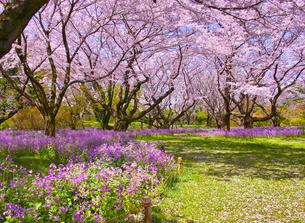 満開の桜とオオアラセイトウの写真素材 [FYI01160611]