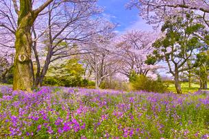 満開の桜とオオアラセイトウの写真素材 [FYI01160612]