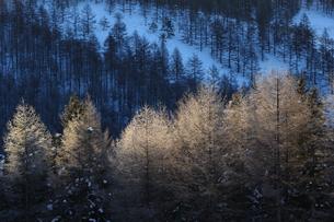 カラマツの霧氷の写真素材 [FYI01160654]