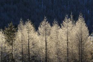 カラマツの霧氷の写真素材 [FYI01160655]