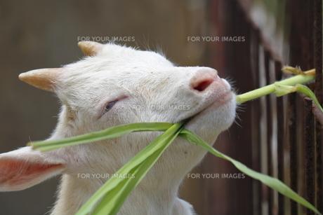子ヤギの食事の写真素材 [FYI01160659]