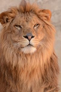 ライオンの写真素材 [FYI01160663]