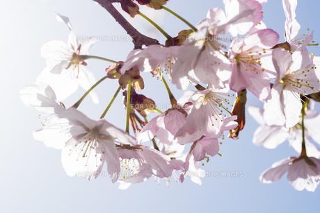 満開のサクラの花の写真素材 [FYI01160882]
