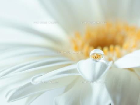 白いガーベラに水滴の写真素材 [FYI01160935]