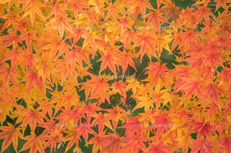 開成山公園の紅葉の写真素材 [FYI01160982]