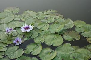 水に浮かぶ花の写真素材 [FYI01161322]
