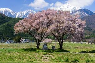 常念道祖神の桜の写真素材 [FYI01161800]