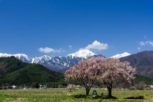 常念道祖神の桜の写真素材 [FYI01161801]