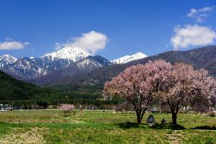 常念道祖神の桜の写真素材 [FYI01161803]