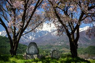 常念道祖神の桜の写真素材 [FYI01161806]