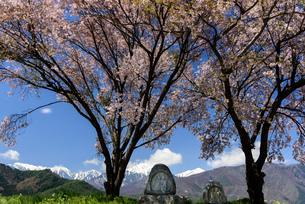 常念道祖神の桜の写真素材 [FYI01161809]