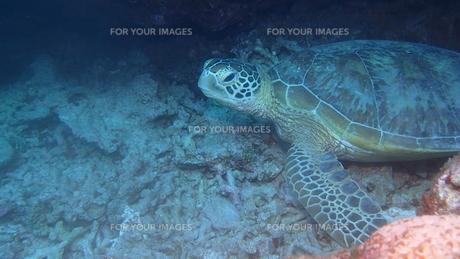 アオウミガメの写真素材 [FYI01162203]