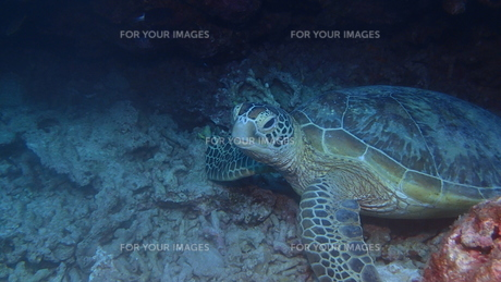 アオウミガメの写真素材 [FYI01162204]