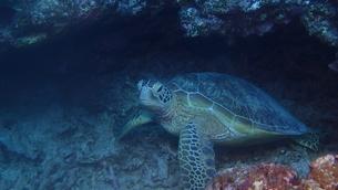 アオウミガメの写真素材 [FYI01162205]